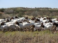 sagenetics-boergoats-in-namibia
