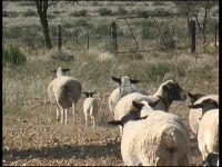 sagenetics-breed-standard-ewe-and-lamb 200