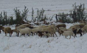 sagenetics-damaras-in-the-snow