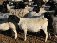 sagenetics-goedemoed-dorper-stud-ewe