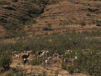 sagenetics-meatmasters-herd s
