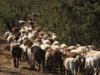 sagenetics-meatmasters-herd