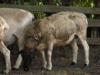 sagenetics-scottish-dorpers 154 200